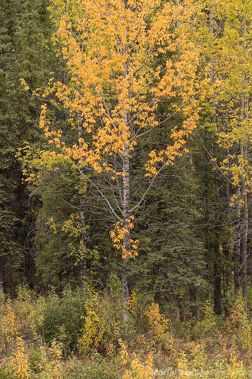 Autumn cottonwood, Denali National Park, Alaska