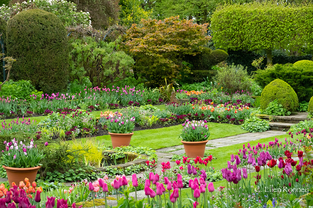 Multi-coloured tulips in the Sunken Garden at Chenies Manor Gardens, Rickmansworth, Buckinghamshire, UK, April