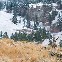 trophy mule deer buck from behind walking away into mountains