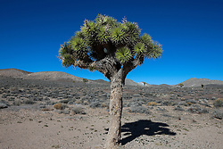 Joshua Tree (Yucca brevifolia), Death Valley National Park, California, United States of America