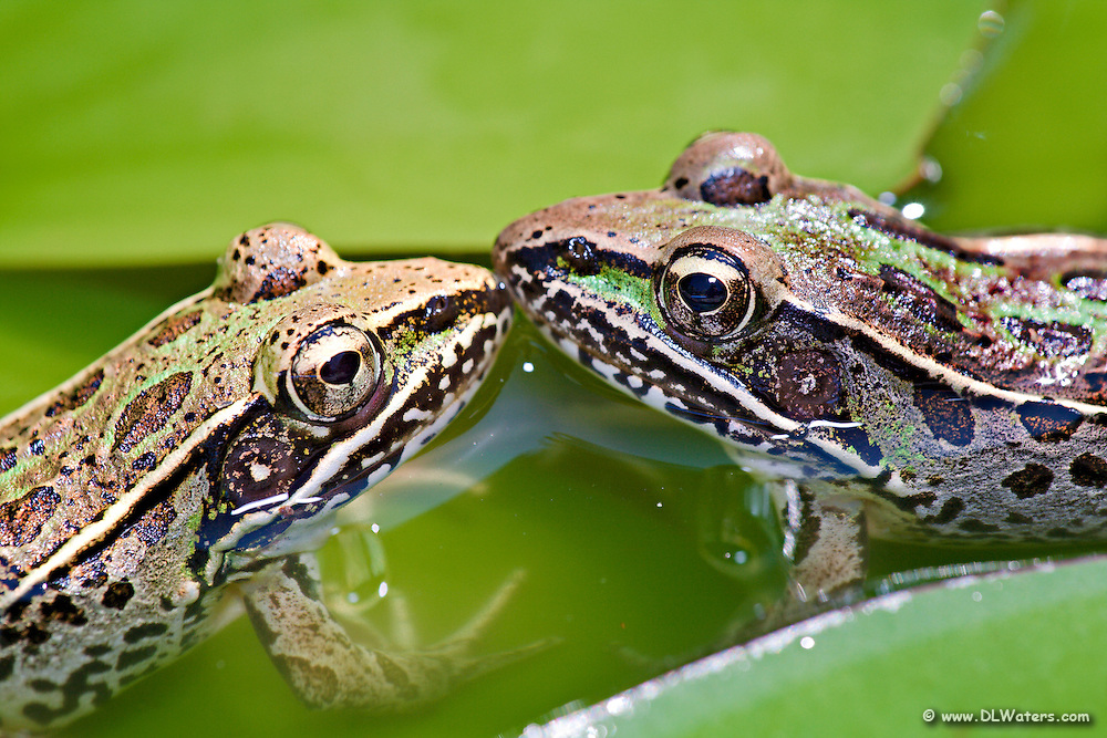 Two frog's photographed in our backyard pond. Our pond is no larger than an oversized puddle, but we are pleasantly surprised at the amount of wildlife it attracts.