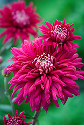 Chrysanthemum 'Regalia Purple'