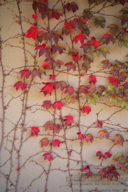 Red Ivy on wall at Gary Farrell winery Westside Road, Sonoma County, California