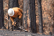 Tree feller notching a fire-killed ponderosa pine on the side of the intended fall, the first step in a timber salvage operation. © 2018 David A. Ponton