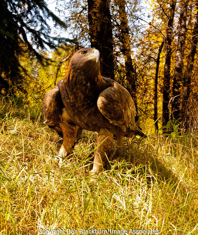 Female Golden Eagle on the Ground White River National Forest Colorado