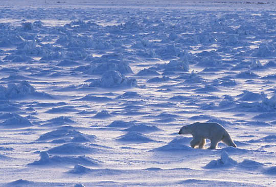 Polar Bear, (Ursus maritimus) Adult on frozen Hudson Bay. Churchill, Manitoba. Canada.
