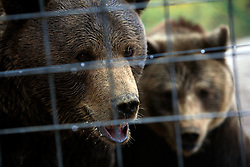 ROMANIA ZARNESTI 25OCT12 - Two rescued bears, Jimmy and Jexy (L) interact at the Zarnesti Bear Sanctuary in Romania, funded by WSPA...With over 160 acres (70 hectares) spread over a wooded hillside, it is Romania's first bear sanctuary and today houses 67 bears rescued from ramshackle zoos and cages at roadside restaurants.....jre/Photo by Jiri Rezac / WSPA....© Jiri Rezac 2012