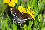 Spicebush Swallowtail - Hodges#4181 (Papilio troilus)<br /> United States: Alabama: Tuscaloosa Co.<br /> Tulip Tree Springs off Echola Rd.; Elrod<br /> 26-May-2017<br /> J.C. Abbott