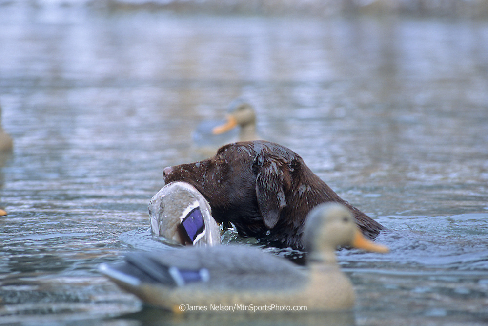 34-687. A chocolate Labrador retriever with a mallard on the Snake River, Idaho.