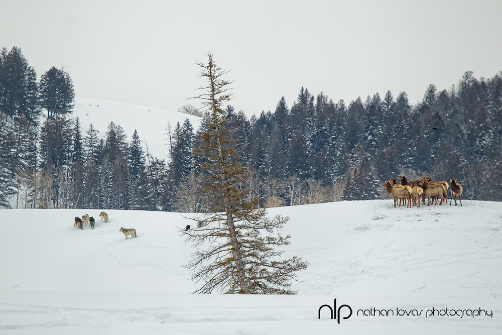 Wolf pack at elk kill; Yellowstone NP in wild.