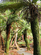 Weldborough Pass, tree ferns, Tasmania, Australia