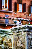 &quot;The beautiful pigeon enjoys the ancient Fonte Gaia in Piazza del Campo Siena&quot;...<br />