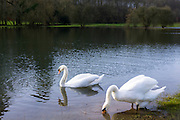 Pair of Mute Swans - male swan cob and female swan pen - Cygnus olor, on River Windrush, Burford in the Cotswolds, England, UK