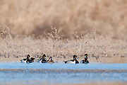 Ring-necked Ducks, Aythya collaris, Shiawassee River, Saginaw County, Michigan