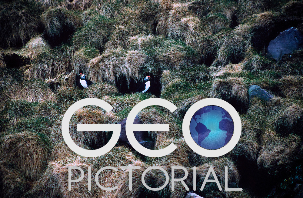 Puffin colony at Witless Bay WIldlife Sanctuary, Newfoundland.