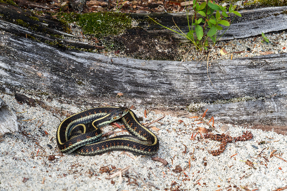 Common Garter Snake (Thamnophis sirtalis) basking on the shore of Hicks Lake in Sasquatch Provincial Park, British Columbia, Canada