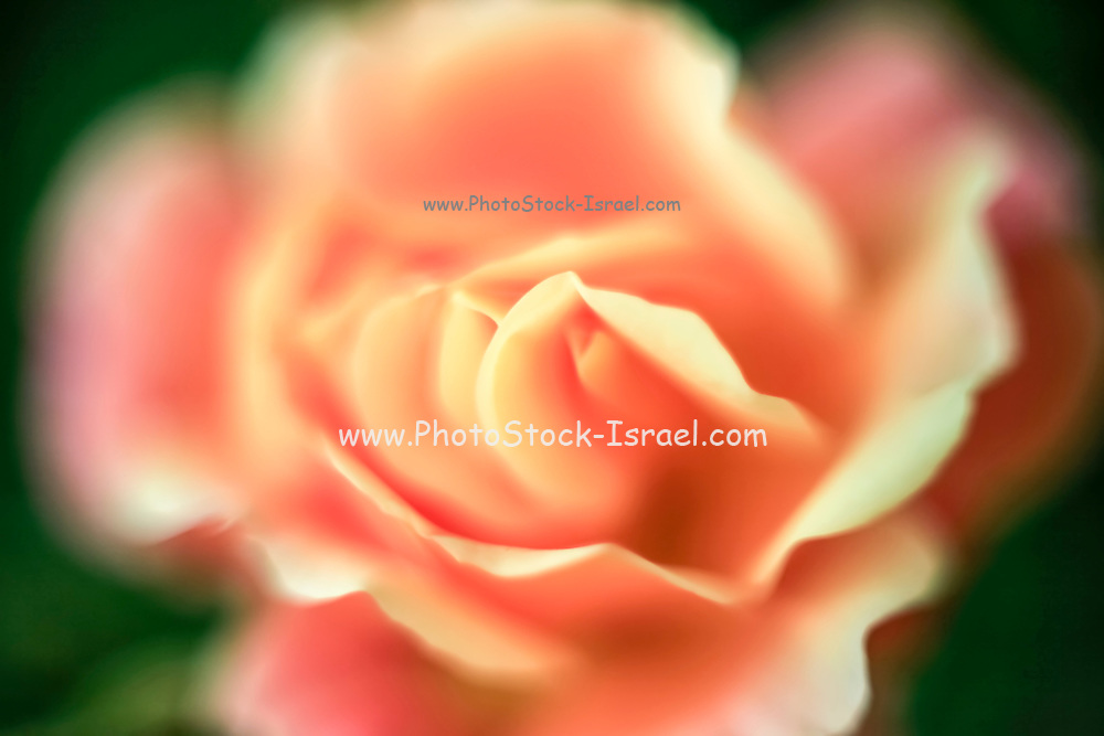 selective focus close up of a rose flower