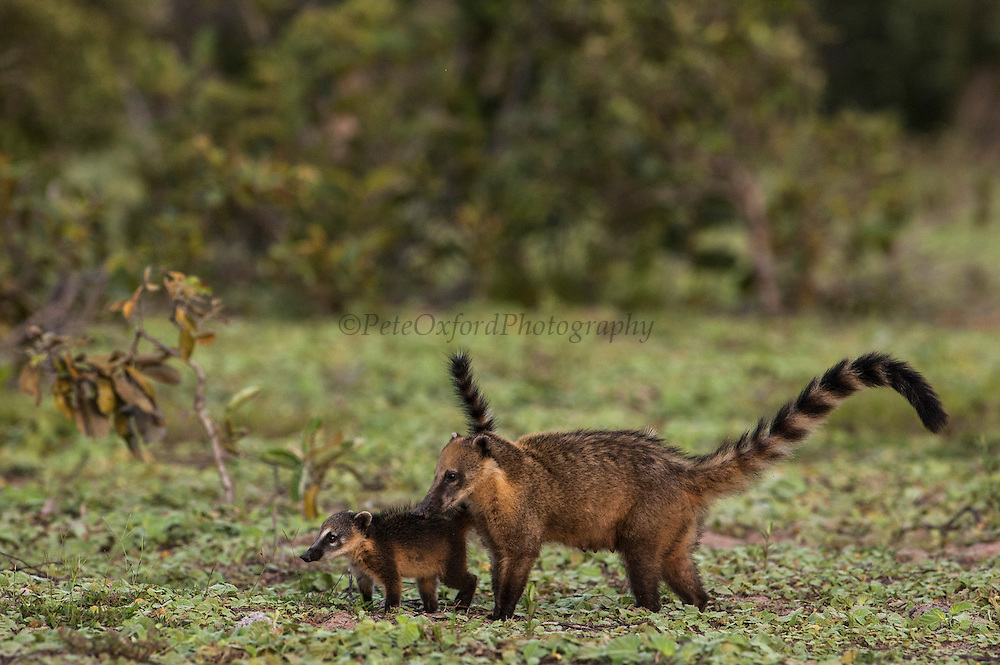 South American or Ringtailed Coati (Nasua nasua) Mother & baby<br /> PHOTOGRAPHED IN: Central Pantanal. Largest contiguous wetland system in the world. Mato Grosso do Sul Province. BRAZIL.  South America. RANGE: Tropical lowlands, dry high-altitude forests, oak forests, mesquite frassland and on the edge of forests in Southern North America, Central and South America.<br /> These animals are omniverous feeding on fruit and invertebrates. They usually live in family bands, made up of females and young. Males tend to be solitary. They live about 7 - 10 years.