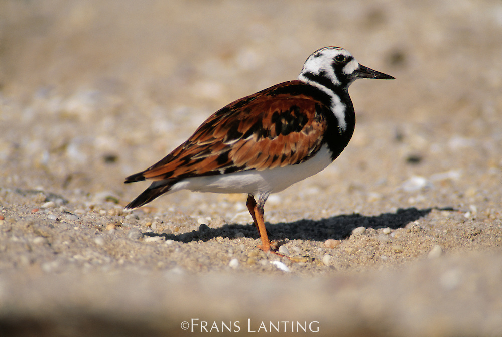 Male ruddy turnstone in breeding plumage, Arenaria interpres, Delaware Bay, New Jersey