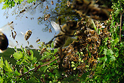Honey bee (Apis mellifera) swarm. Swarming. When the size of the colony reaches a certain stage, usually in Spring or Summer when the nectar flow is at its greatest, the queen and a great many workers, leave the hive in a swarm. The swarm comes to rest in a great cluster on a tree branch or similar situation. Scout bees, who may have left the hive some days before, seek out a suitable situation for a new nest and return to the swarm and communicate this information, whereupon the whole swarm moves off to the new site. | Dieser Schwarm von Honigbienen (Apis mellifera) ist vor wenigen Minuten aus seinem vertrauten Bienenstock ausgeflogen: Das Bienenvolk will sich teilen. Dafür fliegt die alte Königin aus, etwa 20 000 weitere Bienen folgen ihr. Schließlich sammelt sich der Schwarm in einem nahegelegen Strauch. (Deutschland)