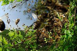 Honey bee (Apis mellifera) swarm. Swarming. When the size of the colony reaches a certain stage, usually in Spring or Summer when the nectar flow is at its greatest, the queen and a great many workers, leave the hive in a swarm. The swarm comes to rest in a great cluster on a tree branch or similar situation. Scout bees, who may have left the hive some days before, seek out a suitable situation for a new nest and return to the swarm and communicate this information, whereupon the whole swarm moves off to the new site. | Dieser Schwarm von Honigbienen (Apis mellifera) ist vor wenigen Minuten aus seinem vertrauten Bienenstock ausgeflogen: Das Bienenvolk will sich teilen. Dafür fliegt die alte Königin aus, etwa 20 000 weitere Bienen folgen ihr. Schließlich sammelt sich der Schwarm in einem nahegelegen Strauch. (Deutschland)
