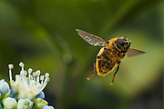 A female Narcissus bulb fly (Merodon equestris) flying near a hydrangea flower in western Oregon. © Michael Durham / www.DurmPhoto.com