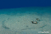bluespotted or blue-spotted stingray, Dasyatis kuhlii, buried under sand, Tulamben Bay, Bali, Indonesia