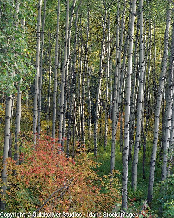 Idaho, Tamarack along Coeur dAlene River, Fall Colors