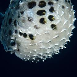 Burr Fish, Unknown sp
