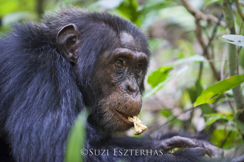 Chimpanzee<br /> Pan troglodytes<br /> Feeding on Treculia africana fruit<br /> Tropical forest, Western Uganda