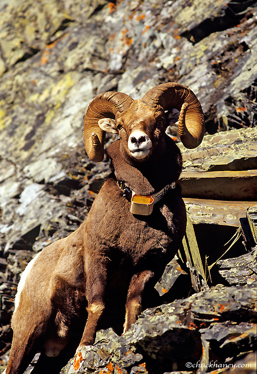Bighorn Sheep Ram with radio collar in Glacier National Park in Montana