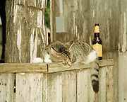 "Cat spied lounging next to Shiner beer bottle in Luckenbach, Texas. NOTE: Click ""Shopping Cart"" icon for available sizes and prices. If a ""Purchase this image"" screen opens, click arrow on it. Doing so does not constitute making a purchase. To purchase, additional steps are required. additional steps are required."