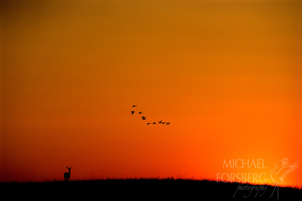 Nebraska Sandhills.  Cresting a hill, a mule deer doe crosses paths with a flock of ducks headed north on their way home to roost. Wildlife abounds in the Nebraska sandhills, remote ranching country that supports a mixed grass prairie ecosystem. This region has remained relatively intact because of the stewardship of the ranchers that live on the land.