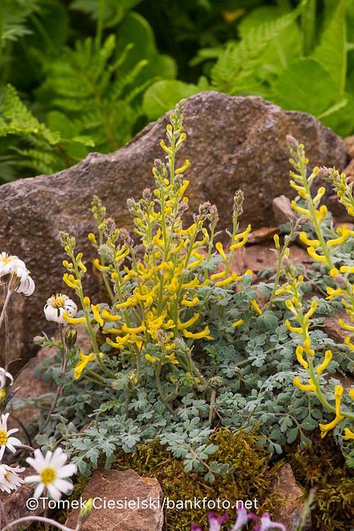 Corydalis tomentella