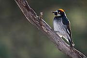 Acorn Woodpecker, Melanerpes formicivorus, female, Santa Cruz County, Arizona