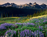 Tatoosh Range and meadows of lupines arnica and valerian, Mount Rainier National Park Washington