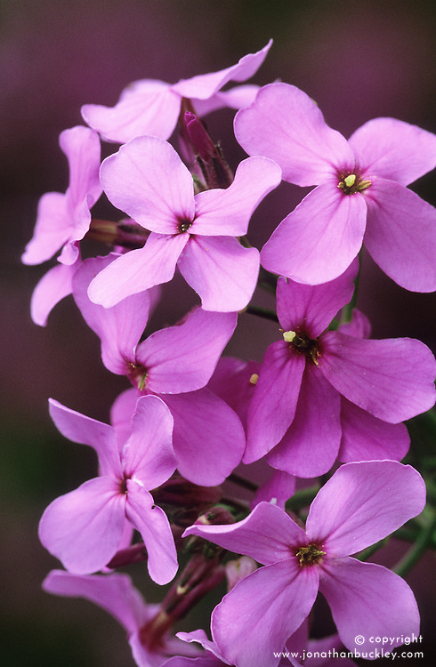 Hesperis matronalis. Sweet rocket, Dame's rocket, Damask violet, Dame's-violet