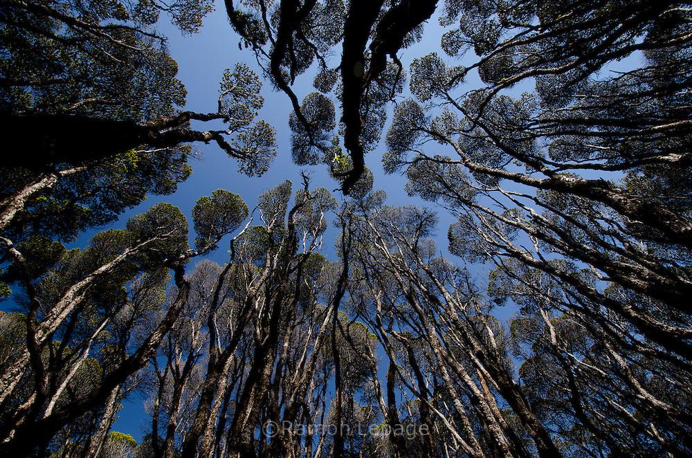 """AUYANTEPUY, VENEZUELA. Bosque de Bonetias en la cima del Tepuy. El Auyantepuy es el mayor de los tepuis del Parque Nacional Canaima. En sus 700 kms2 alberga el salto angel o conocido por lengua indígena Pemon como """"Kerepacupai Vena; es la caída de agua más grande del mundo con sus 979 metros de altura. (Ramon lepage /Orinoquiaphoto/LatinContent/Getty Images)"""