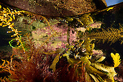 "Intertidal zone in Brittany (French: Bretagne). In the tide pool there is brown algae and red algae. Brown algae: Toothed wrack (Fucus serratus) and Japanese wireweed (Sargassum muticum). Red algae: Calliblepharis jubata.  Roscoff, France | Gezeitentümpel mit Braunalgen: Fucus serratus und  Seetang (Sargassum muticum) mit runden Auftriebskörpern=""Blasen""; Rotalgen: Calliblepharis jubata; Grünalgen: Ulva sp.; im Hintergrund rote (""coralline"")  Roscoff, Bretagne, France"