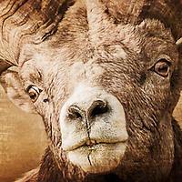 mature, trophy bighorn sheep ram