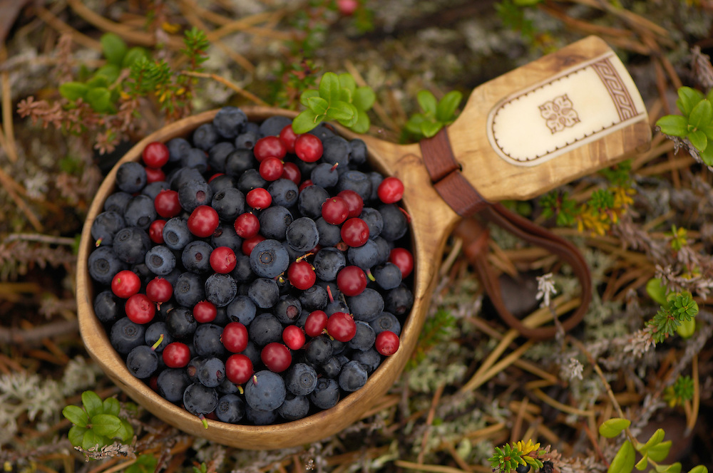 Berry picking, Blueberries, Vaccinium myrtilius, Lingonberry, Vaccinium vitis-idaea, Laponia World Heritage Area, Lapland, Sweden.