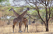 Adult giraffes, Serengeti, Tanzania RESERVED USE - NOT FOR DOWNLOAD -  FOR USE CONTACT TIM GRAHAM