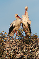 White Storks (Ciconia ciconia) <br /> Wetland Reserve<br /> Doñana National & Natural Park. Huelva Province, Andalusia. SPAIN<br /> 1969 - Set up as a National Park<br /> 1981 - Biosphere Reserve<br /> 1982 - Wetland of International Importance, Ramsar<br /> 1985 - Special Protection Area for Birds<br /> 1994 - World Heritage Site, UNESCO.<br /> The marshlands in particular are a very important area for the migration, breeding and wintering of European and African birds. It is also an area of old cultures, traditions and human uses - most of which are still in existance.<br /> RANGE: Breeds in Warmer Europe, nw Africa and sw Asia e to southern Kazakhstan) Migrates in winter to tropical Africa down to South Africa & Indian subcontinent.<br /> They breed in open farmland areas with access to marshy wetlands. Nests made of sticks in trees, power pillons and buildings as it is not persecuted as it is seen as a good luck bird. However they are killed during their migration. They feed on fish, frogs, insects but also on small rodents and reptiles.