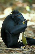 Celebes / Black / Sulawesi crested macaque {Macaca nigra} feeding on fruit, Sulawesi, Indonesia