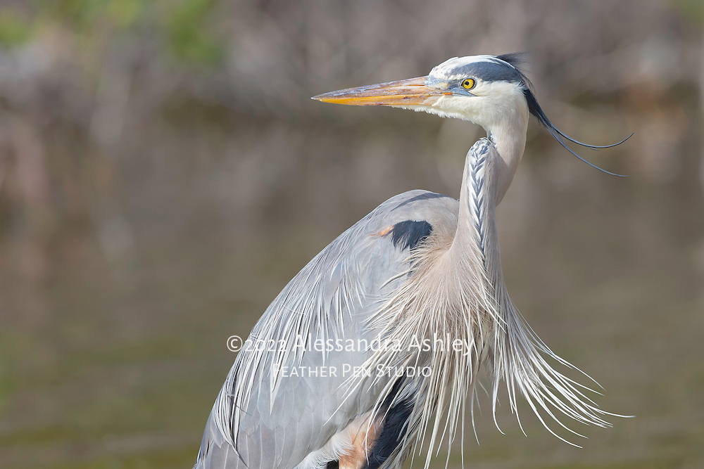 Great blue heron, Ardea herodias, in breeding plumage enjoys afternoon sunshine and breezes at Little Estero Critical Wildlife Area, Fort Myers Beach, FL. Image published in Wild Planet magazine, Freeze Frame feature, Issue 36 / Oct. 2016.