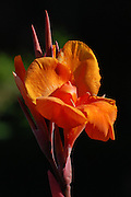 This is a Canna Flower.