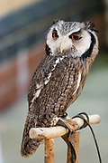 This southern white-faced owl (Ptilopsis granti in the owl family Strigidae) is native to the southern half of Africa. Named Voo Voo, she was photographed at the Owl Sanctuary hands-on experience, at preserved 1869 Haverthwaite railway station on the Lakeside & Haverthwaite Railway, in Lake District National Park, Cumbria, England, United Kingdom, Europe. The upperparts of Ptilopsis granti are grey with dark streaks and the scapular feathers have white spots. The underparts are whitish with dark streaks. The face is white with a black border and black around the large orange eyes. The head has two short tufts with black tips. This was on day 1 of 14 our England Coast to Coast hike with Wilderness Travel.  [This image, commissioned by Wilderness Travel, is not available to any other agency providing group travel in the UK, but may otherwise be licensable from Tom Dempsey – please inquire at PhotoSeek.com.]