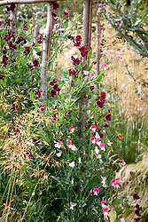 Sweet peas in the cutting garden. Lathyrus odoratus 'Painted Lady'
