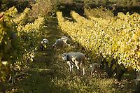 sheep grazing in vineyards near Ponte Nuovo, in northern Corsica..photo: Owen Franken  11/03