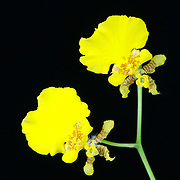 Stock photo of a yellow orchid